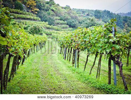 Wineyard before Harvesting