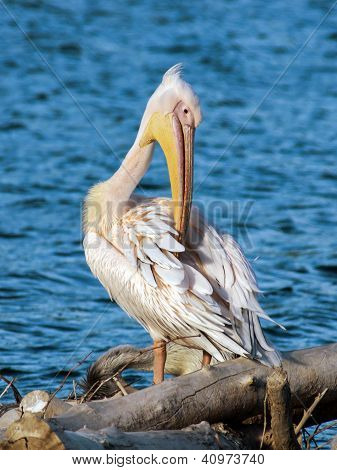 White Pelican On The Lake