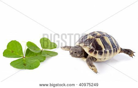 Young Tortoise And Trefoil