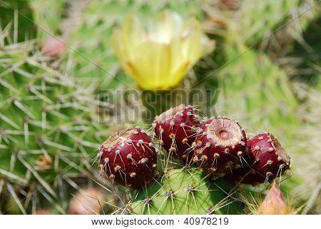 Red Cactus Fruits