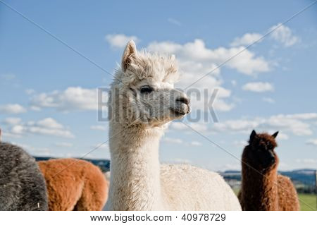 White Alpaca in a Herd