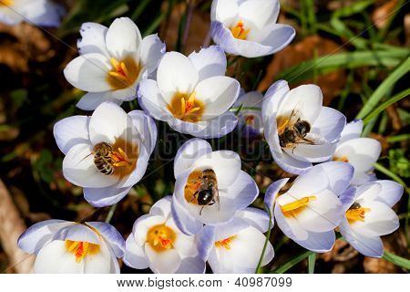 Crocus And Bees In Spring