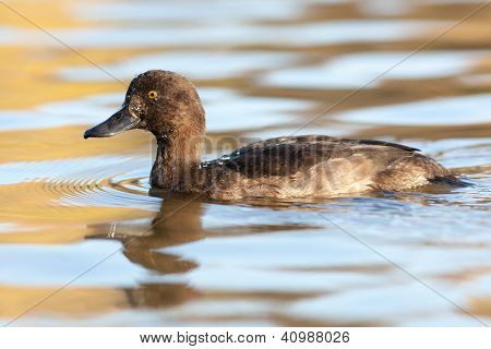 Aythya Fuligula, Tufted Duck.