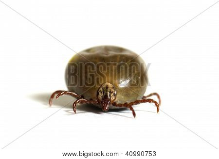 Tick Bloated With Blood