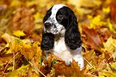 Black And White Puppy Of Russian Spaniel In Autumn Leaves
