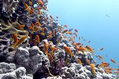 pic of fire coral  - coral reef with hard corals and exotic fishes anthias on the bottom of tropical sea - underwater photo