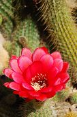pic of stippling  - a red cactus blossom with cacti background - JPG