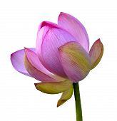 picture of hydrophytes  - Wild pink lotus  - JPG