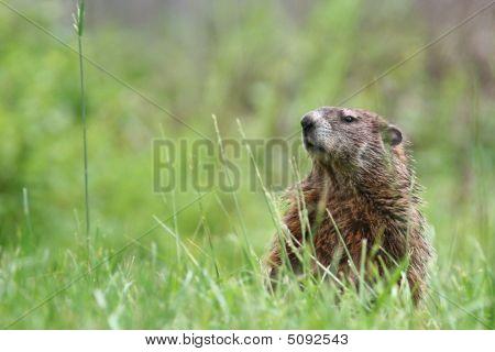 Groundhog grazing