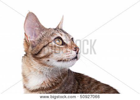 Brown Striped Kitten Close-up