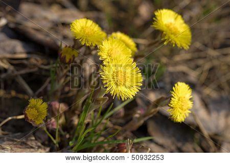 Flowering Coltsfoot