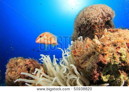 Coral Reef and Blacktip Grouper fish
