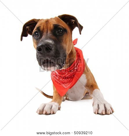 a cute pit bull boxer mix
