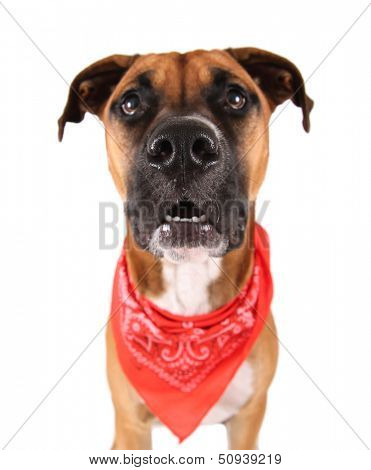 a cute pit bull boxer mix dog on an isolated white background