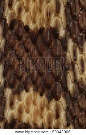 Gopher Snake Texture
