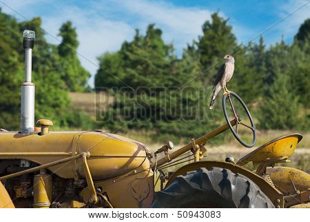 Cooper's Hawk (Accipiter cooperii) Stands Om Wheel Of Old Tractor