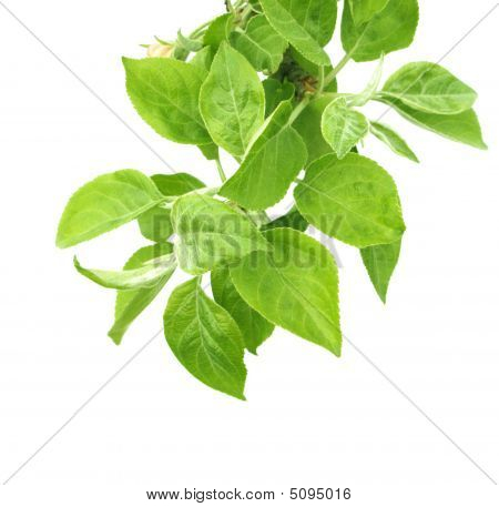 Leaves Of A Apple Tree