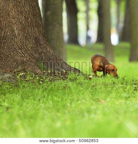 dachshund on green grass close up