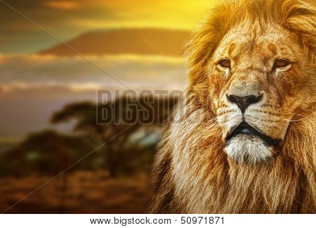 Lion portrait on savanna landscape background and Mount Kilimanjaro at sunset poster