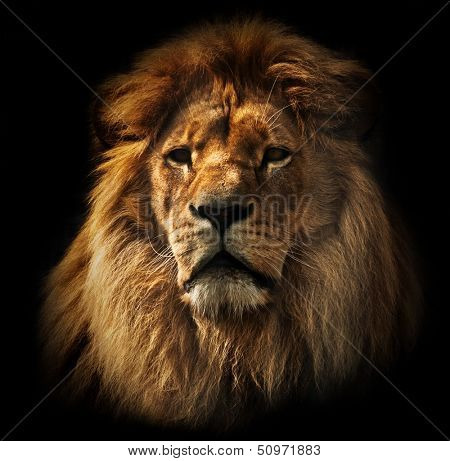 Lion portrait on black background. Big adult lion with rich mane.