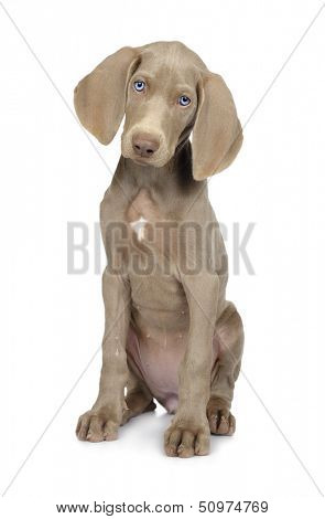 Full length photo of a young Weimaraner dog on white