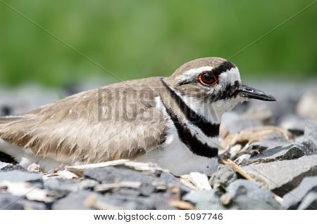 Killdeer (charadrius Vociferus) On A Nest