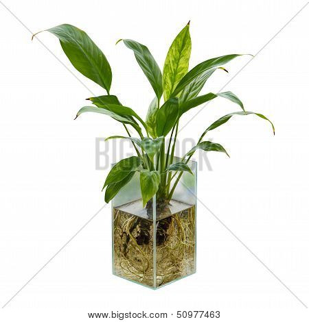 Spathiphyllum Or Peace Lily In The Glass Vase