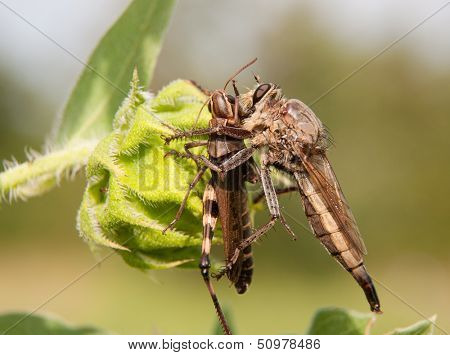 Giant Robber Fly feasting on a grasshopper