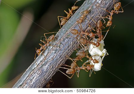 weaver ants moving the larva