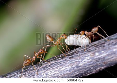 weaver ants moving their egg