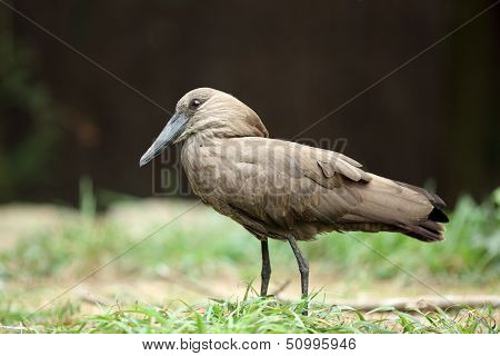 Hamerkop, Scopus Umbretta