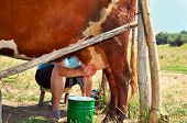 stock photo of milkmaid  - Milkmaid milking a cow - JPG