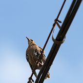 Sturnus Vulgaris On Cable