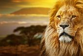 Lion portrait on savanna landscape background and Mount Kilimanjaro at sunset