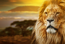 picture of species  - Lion portrait on savanna landscape background and Mount Kilimanjaro at sunset - JPG