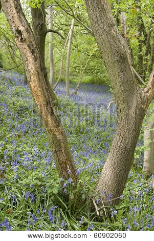Bluebell Flowers in Spring Woodland
