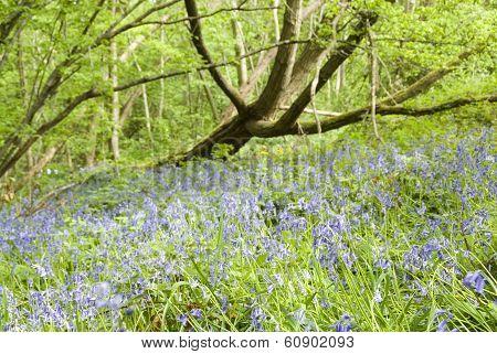 Bluebells in Spring Woodland, UK