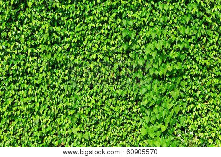 Green ivy plant on wall