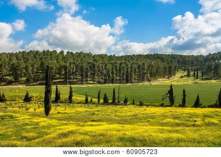 Yellow flowers and green grass under blue sky with white clouds in spring in Israel.