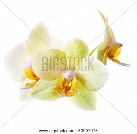 Yellow Green Orchid