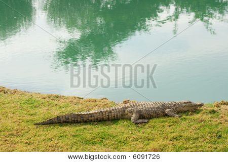 Aligator Next To Pond