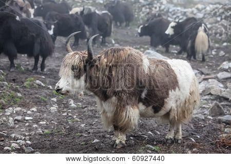 Himalayan Yaks In Herd, Nepal