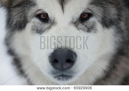 Alaskan Malamute Muzzle