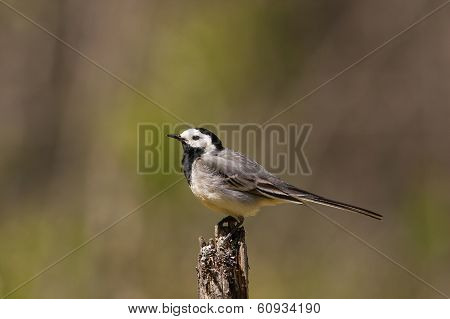 Portrait Of Pied Wagtail