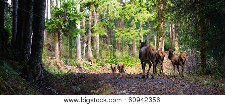 Animal Elk Herd Walking Away Oregon Woods Northwest Forest Wildlife