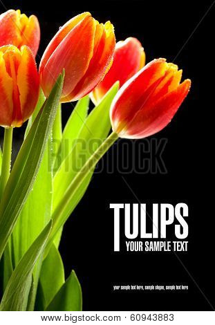 Beauty red tulips on the black background