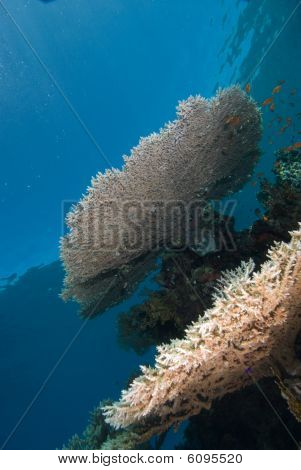 A Heatlhy Example Of A Table Coral