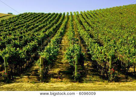 Wide Shot Of Wine Yineyard