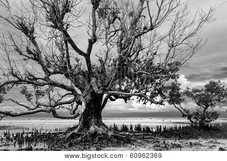 Dramatic greyscale landscape of the dense tracery of the leafless branches a dead mangrove tree standing on the shoreline silhouetted against a cloudy sky