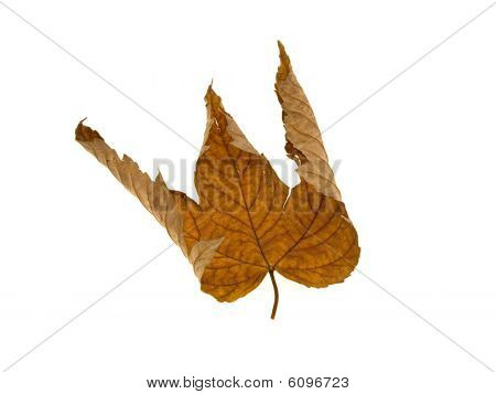 Yellow Dry Leaf Of A Maple